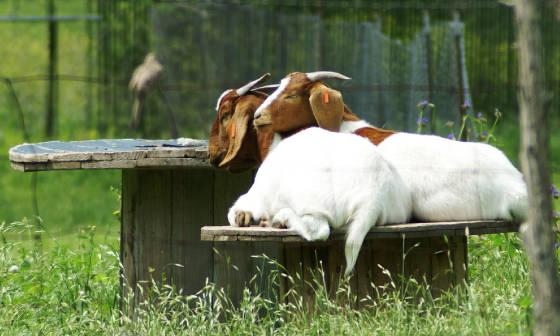 goatsspool.jpg